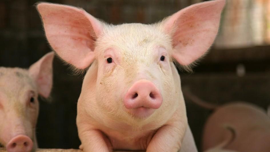 Ode contromano del porco lombardo